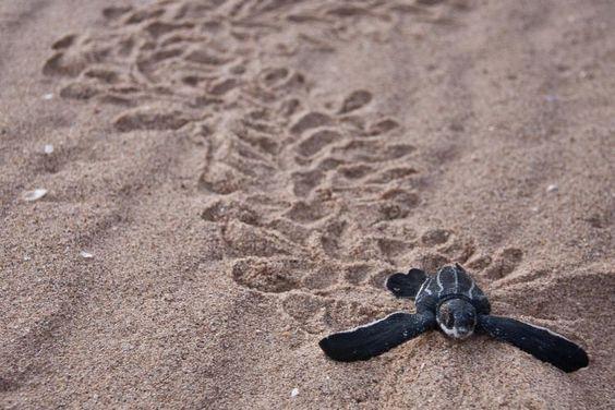 Habitat for Leatherback Turtles | Ocean Portal, Smithsonian Institution