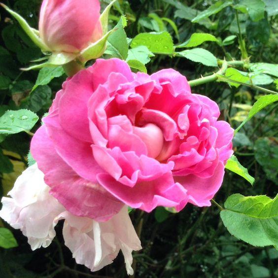 A rose in Lincolns inn
