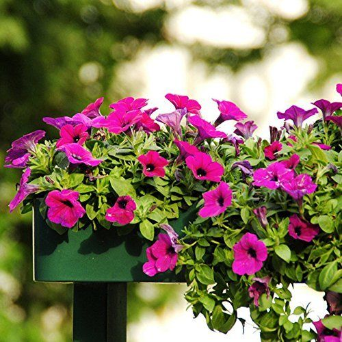 Petunia Care How To Grow And Keep Petunia Flowers Blooming Petunias Petunia Care Bloom