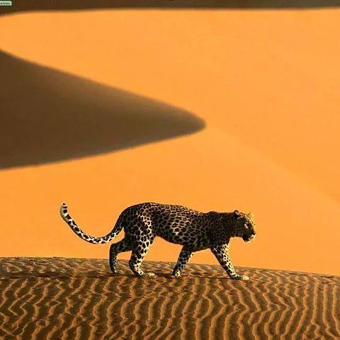 الفهد الصياد من حيوانات الصحراء الجزائرية Algerian Sahara الجزائر تونس المغرب الامارات السعودية قطر الخليج العربي الخليج مص Africa Namibia Animals