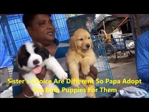 Labrador Retriever Puppies Hyderabad Best Quality St Bernard Golden Retriever Puppy Get Thei Labrador Retriever Puppies Retriever Puppy Labrador Retriever
