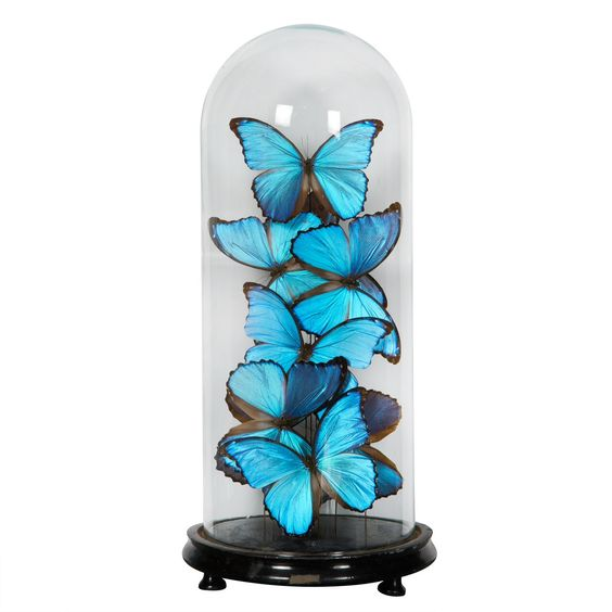 XIXth century glass dome with collection of very large blue butterflies from south america.