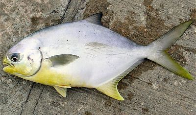 Pompano one of the best eating fish in the gulf of mexico for Pompano fish good to eat