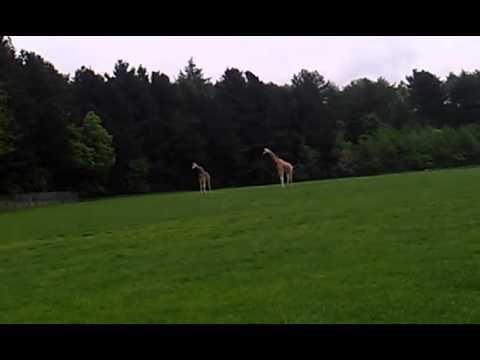 Giraf der parre sig, eller prøver da. - YouTube