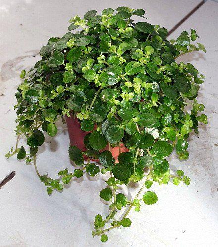 "Large Leaf Baby Tears/Jobes Tears - Pilea depressa - Easy to Grow - 4"" Pot Hirts: House Plants"
