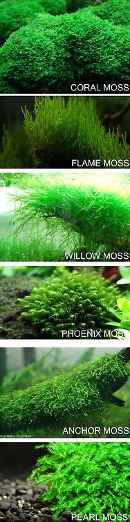... Actually most of these, if not all, are not true mosses. Easier to take care of though! :D