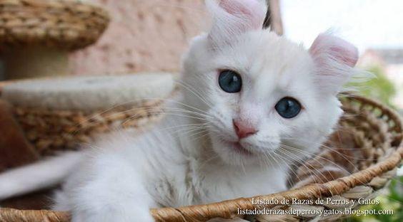 Foto de un gatito American Curl de pelo blanco. Orejas dobladas hacia dentro características de la raza Curl Americano. Razas de gatos pequeños (Photo of a cat American Curl of white hair. Small breeds of cats).