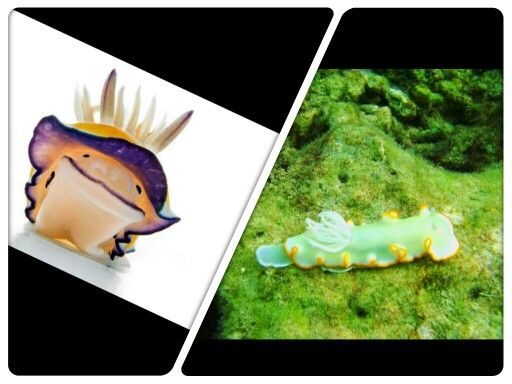 Sea slugs, officially known as nudibranches. They're so cute!