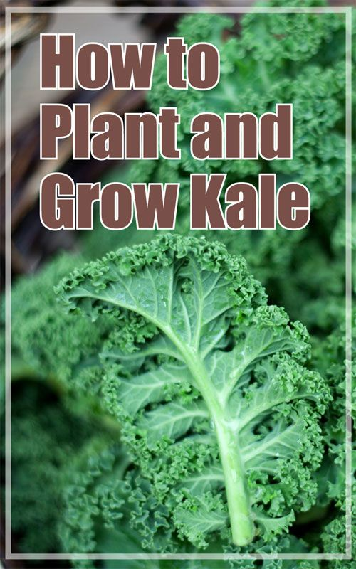 Planting Kale In The Fall Garden Growing Winter Vegetables