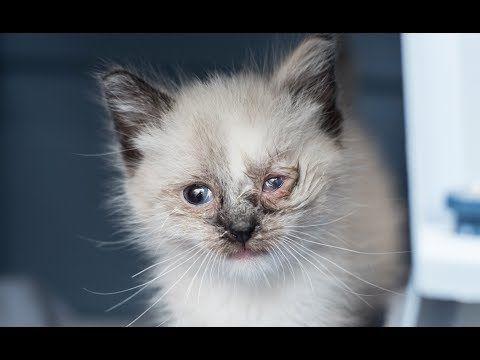 Kitten Eye Infection In 2020 Kitten Eye Infection Eye Infections Kitten Eyes
