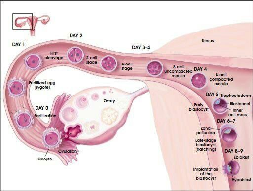 Female reproductive System......