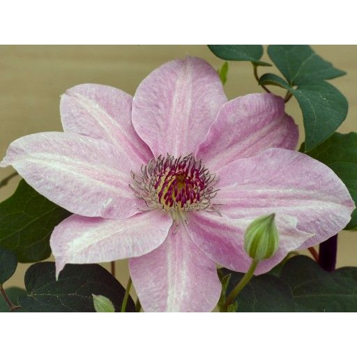 Lovely, compact and long-blooming, Clematis Neva is well suited to growing in containers or at the front of the border. Allow it to spill over a low wall or scramble among the perennials!