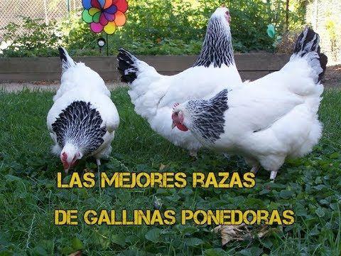 Las 5 Mejores Gallinas Ponedoras Más Rentables Que Existen Youtube Gallinas Ponedoras Criar Gallinas Criadero De Gallinas