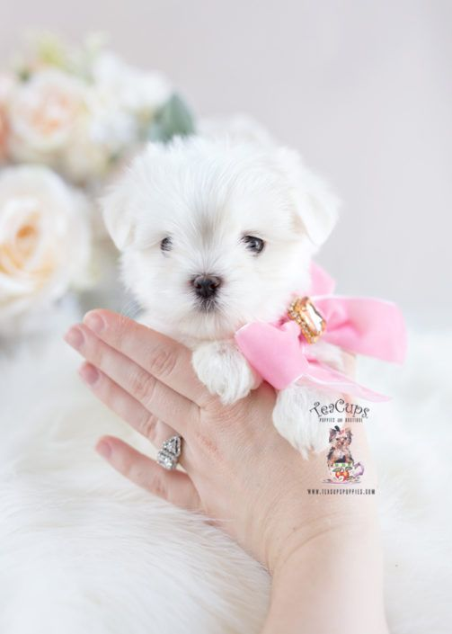 White Maltese Puppy For Sale Teacup Puppies 263 B Maltese Puppy