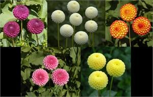 "$18.95 You will love these! They are adorable and each plant produces loads of flowers, great for cutting!   Bloom: 1 1/2"" to 2"" Plant Heights: 3' to 4'  #795 CUTE AS A BUTTON COLLECTION:   Betty Ann - Pink Little Scottie - Yellow Tiny Treasure - White Kasasagi - Yellow & Red Dot Com - Purple"