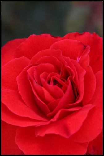 Rosa roja (tercios)