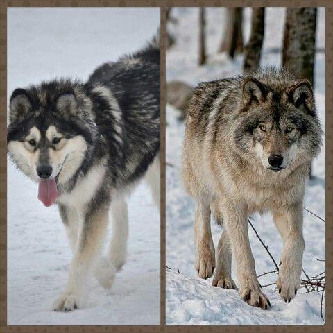 Alaskan Malamute vs. Grey wolf | All things malamutes ...