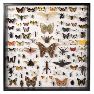 Halloween curio cabinet inspiration~Museum Quality Insects Collection - Insects and Butterflies