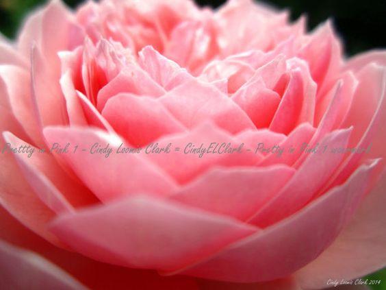 Pretty in Pink 1  Fine Art Photography  by CindyELClarkPhotos  https://www.etsy.com/listing/221547695/pretty-in-pink-1-fine-art-photography