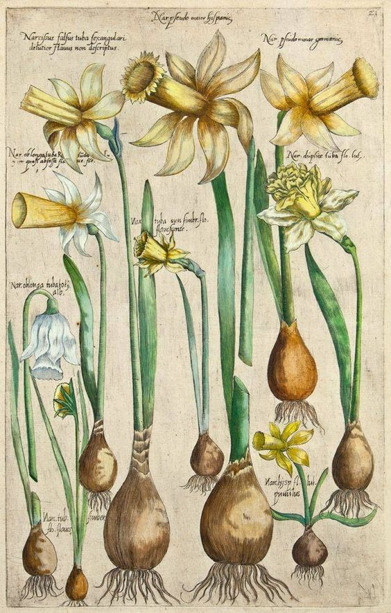 Vintage print of daffodils