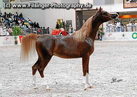 CALYPSO OS (*10) (Ajman Moniscione x AB Natrapsy) SHARJAH 2012 Arabian Horse Show * ArabianFlashlights.com * FilCoARt