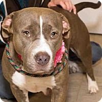 Pit Bull Terrier Mix Dog for adoption in Grand Prairie, Texas - EVIE