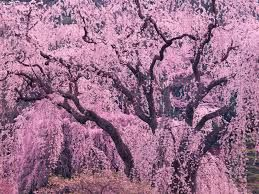 pink weeping cherry tree - Google Search