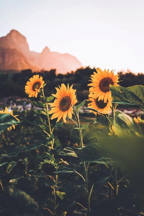 Sunflowers Gavin Picford Photography Sunflower Wallpaper Nature Flower Aesthetic