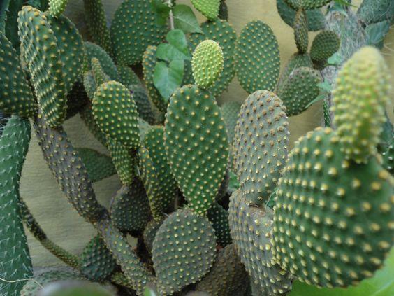 Opuntia microdasys cactus nombre com n o vulgar alas de for Nombres de cactus