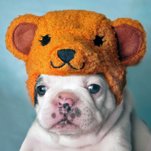 Just a puppy. with a bear hat.