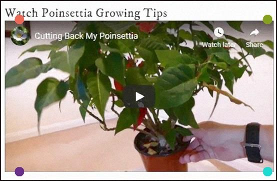 Learn How To Keep Your Poinsettia As A Houseplant Year Round And Get It To Rebloom For New Flowers House Plants Poinsettia Buy Flowers Online
