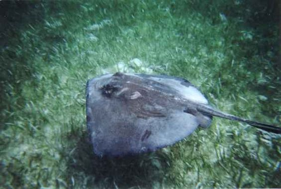 Ray at Shark Ray Alley - Hol Chan Marine Preserve - Ambergris Caye - Belize