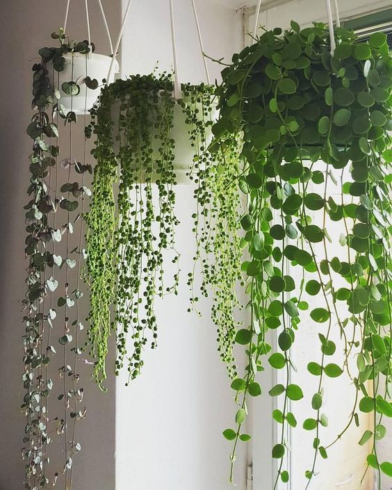 Pin by Tonie Gresalfi on grow in 2019 | House plants, Plants ... Tropical House Plants With Vines on flowers plants vine, squash vine, tropical flowers vine, wandering jew vine,