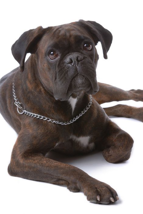 Boxers, Boxer dogs and Dogs on Pinterest