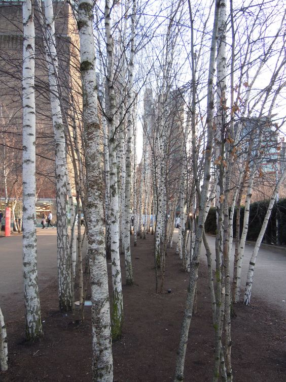 Silver birches outside Tate Modern