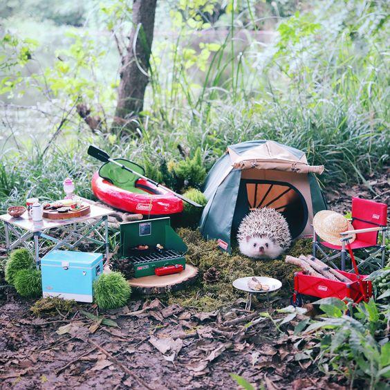 Забавные фото ежика Азуки, который отправился в поход на природу
