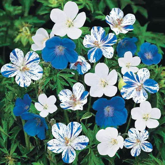 "Geranium ""Cranesbill"" or ""'Hardy Blues."" The flowers range from soild white to true solid blue."