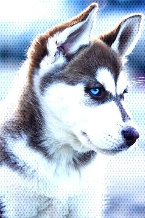 Siberian Husky Puppy Siberian Husky Puppy Siberian Husky