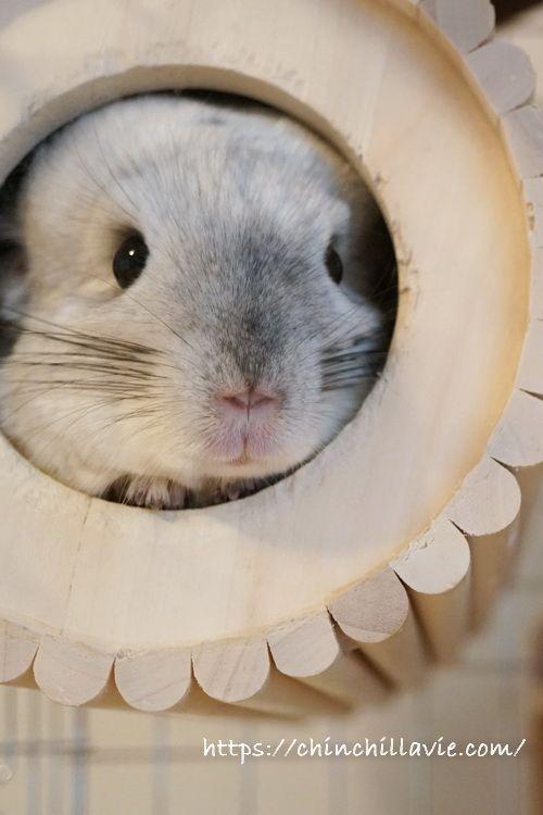 チンチラのティモのお気に入りな巣箱 チンチラ 動物 かわいい 巣箱