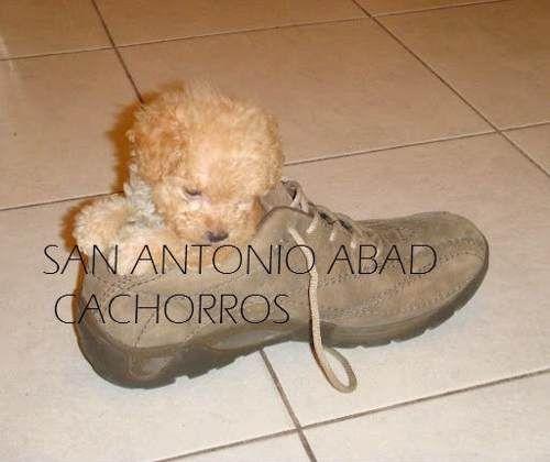 caniches mini***micro**los mas chiquitos