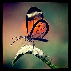 butterfly with transparent wings - Szukaj w Google