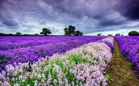 Bildergebnis für lavendel