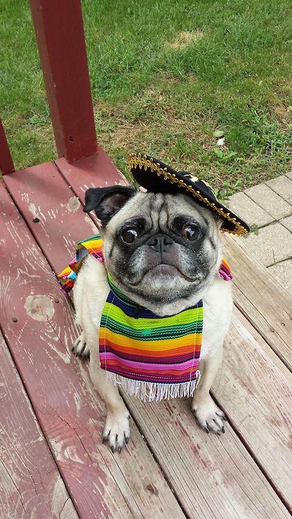 Mexican Pug 😂