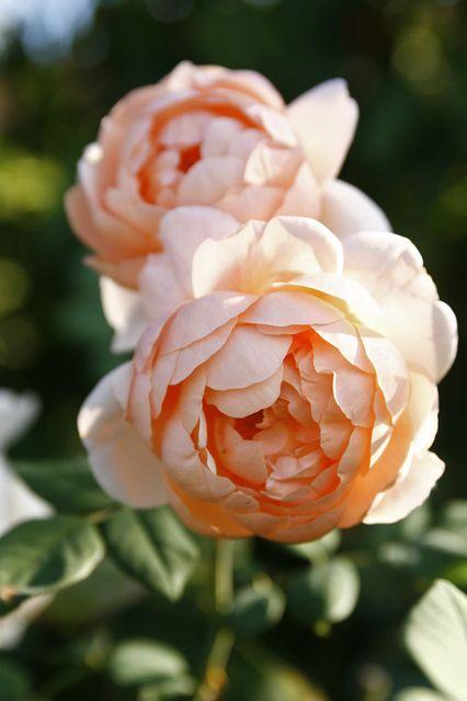 Ambridge Rose in October