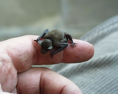 The Bumblebee Bat (Craseonycteris thonglongyai) is the smallest mammal in the world weighing in at just barely 2 grams – about the weight of a penny! – and measuring 1 to 1.2 inches (3 cm) in length – about the size of a large bumblebee. by koshersamurai #Mammal #Bumblebee_Bat