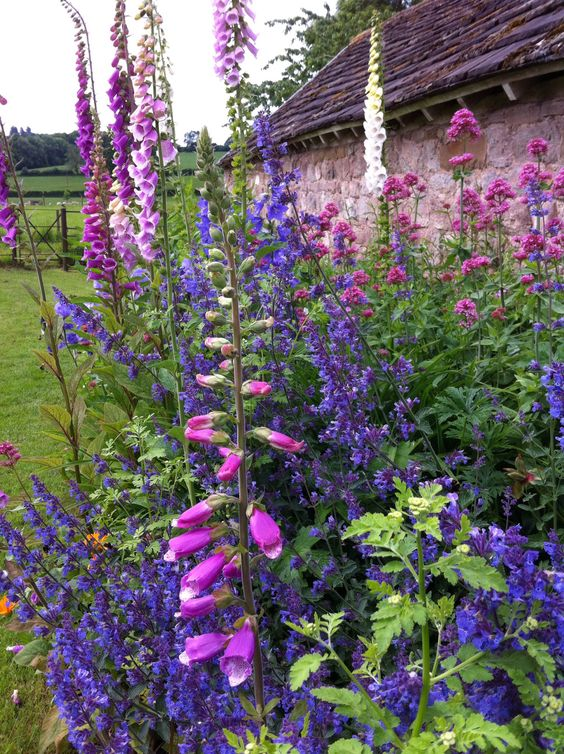 English country garden - Foxgloves and Salvia by the old barn.