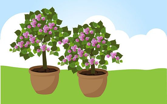 11 Tips on How to Grow Bougainvillea - wikiHow