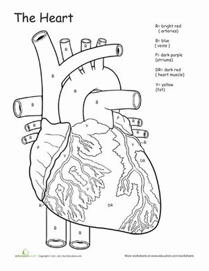 This Awesome Anatomy coloring page focuses on the heart and all the different parts of it.