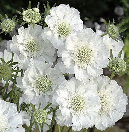 Scabiosa caucasica 39 miss willmott 39 perennial annual for Flowers and gardens pictures