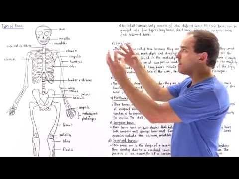 Long Bones, Short Bones, Flat Bones, Irregular Bones, Sesamoid Bones - YouTube